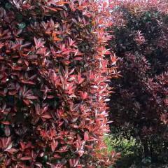 造型红叶石楠