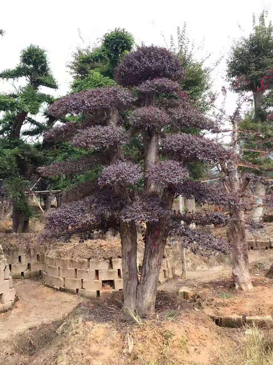 造型红花檵木