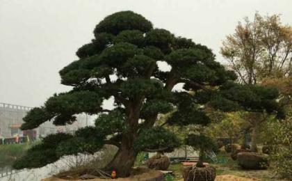 """""""西部苗都""""的华丽嬗变——来自呼图壁县苗木产业的发展"""