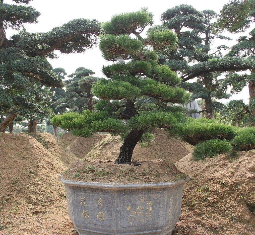 常见的景观造型树有哪些品种?