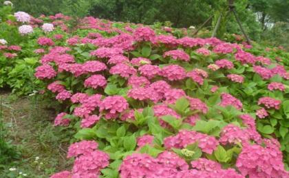 八仙花哪个地区最多?