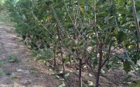 100种湖南最常用的绿化苗木