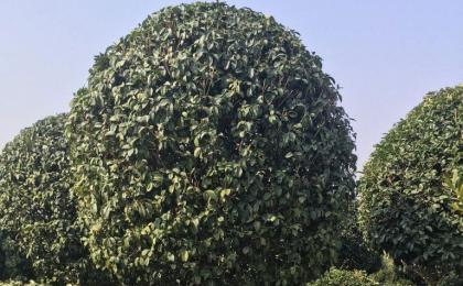 湖南苗木基地:种植好桂花树的方法