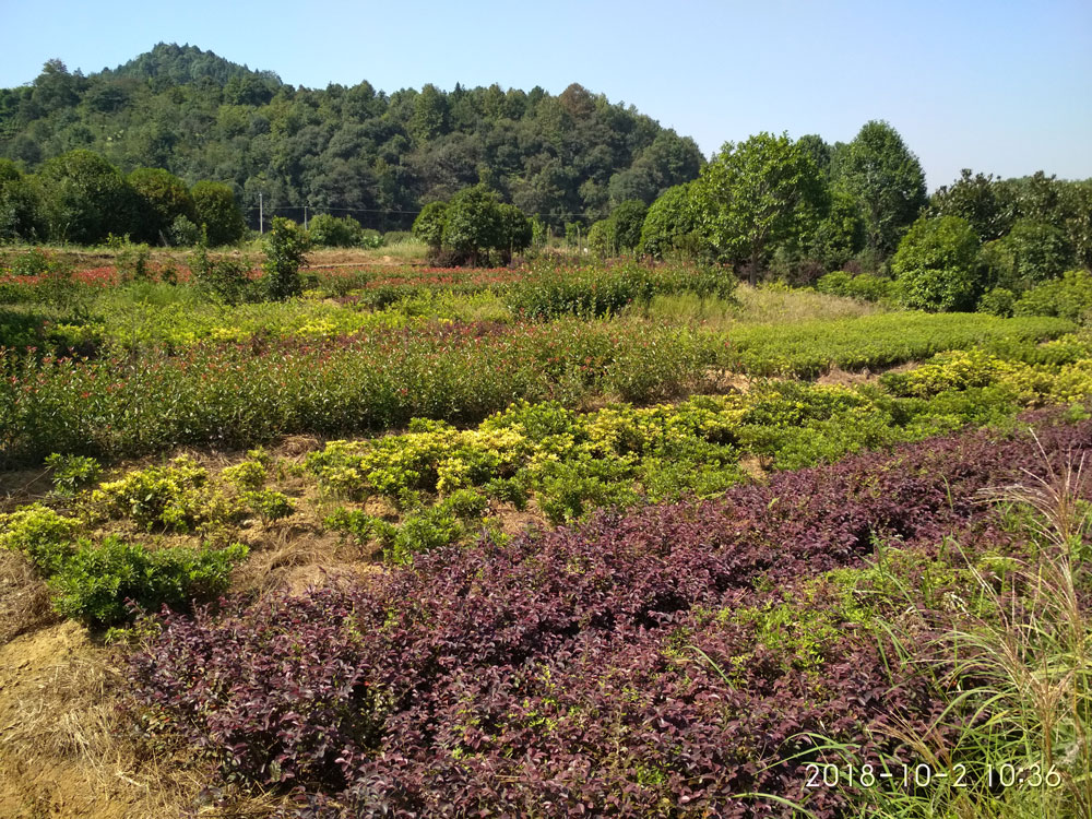 湖南常用绿化苗木价格表