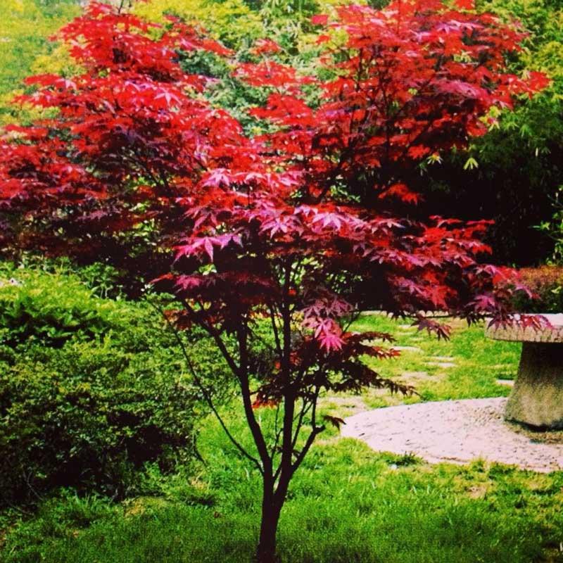 10公分日本红枫价格参考