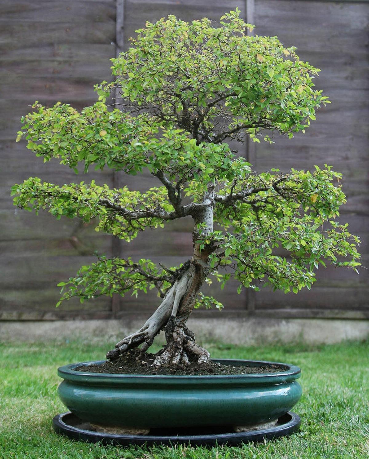 榆树盆景该怎样养护管理?