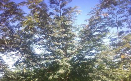 绿化苗木品种如何选择?