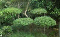 长沙园林植物造型哪里有