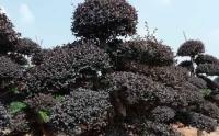 红花继木1.5米高多少钱一棵