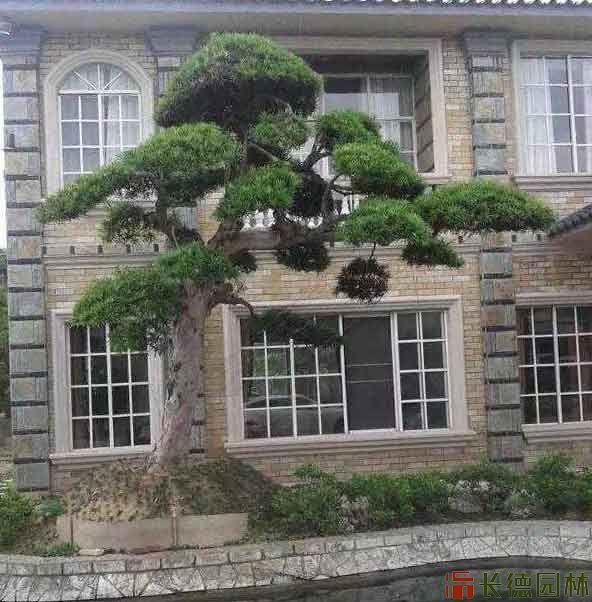 湖南别墅门口造型树